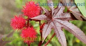 Hoa và lá cây thầu dầu