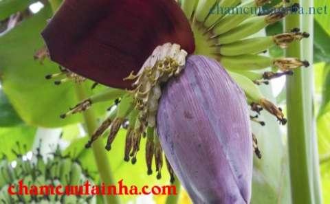Hoa chuối - món ăn bài thuốc chữa bách bệnh mà ai cũng thờ ơ
