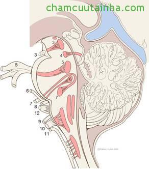 Hình 1: Nhân các dây thần kinh sọ não.