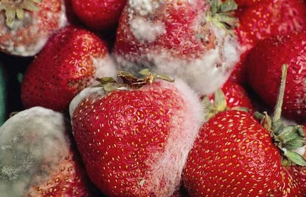 Tuyệt đối không sử dụng những loại hoa quả đã bị nấm mốc.
