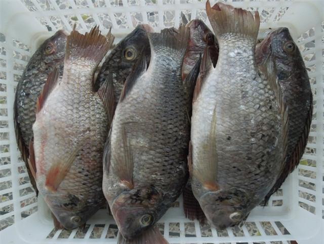 Cá rô phi nuôi không có được loại dầu cá khỏe mạnh như cá rô phi sống ở ao, hồ tự nhiên.