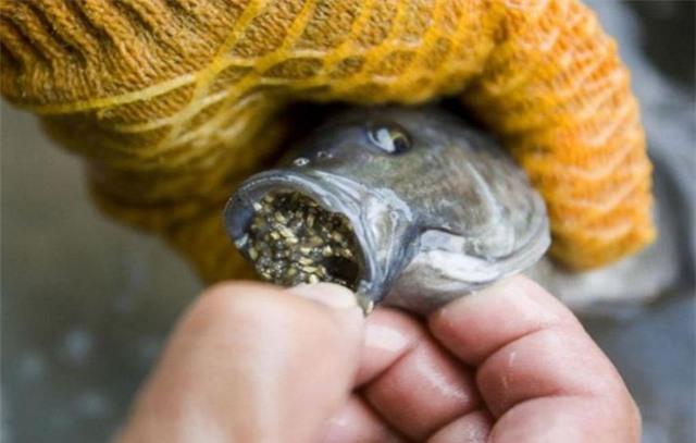Cá rô phi thường ăn tạp, và cả những chất độc hại.